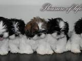 Собаки, щенки Ши-тцу, цена 3500 Грн., Фото
