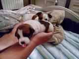 Собаки, щенки Джек Рассел терьер, цена 5000 Грн., Фото