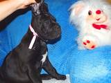 Собаки, щенки Кане Корсо, цена 25000 Грн., Фото