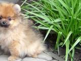 Собаки, щенята Померанський шпіц, ціна 14000 Грн., Фото
