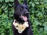 Собаки, щенята Східно-Європейська вівчарка, ціна 9000 Грн., Фото