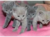 Кішки, кошенята Британська короткошерста, ціна 1000 Грн., Фото