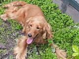 Собаки, щенята Англійський коккер, ціна 2500 Грн., Фото
