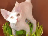 Кішки, кошенята Девон-рекс, ціна 3500 Грн., Фото