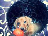 Собаки, щенята Гладкошерста мініатюрна такса, ціна 1800 Грн., Фото