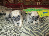 Собаки, щенята Мопс, ціна 3800 Грн., Фото
