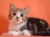 Кошки, котята Шотландская короткошерстная, цена 2000 Грн., Фото
