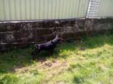 Собаки, щенята Ягдтер'єр, ціна 2800 Грн., Фото