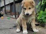 Собаки, щенки Среднеазиатская овчарка, цена 3500 Грн., Фото