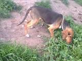 Собаки, щенята Естонський гончак, ціна 2000 Грн., Фото