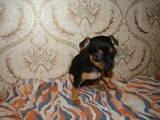 Собаки, щенята Російський гладкошерстий тойтерьер, ціна 700 Грн., Фото