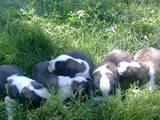 Собаки, щенки Сенбернар, цена 3000 Грн., Фото