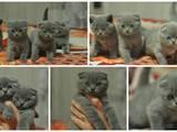 Кошки, котята Британская короткошерстная, цена 1300 Грн., Фото