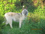 Собаки, щенята Західно-Сибірська лайка, ціна 2700 Грн., Фото