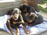 Собаки, щенки Доберман, цена 2500 Грн., Фото