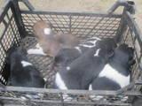 Собаки, щенки Гладкошерстный фокстерьер, цена 750 Грн., Фото