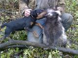 Собаки, щенята Ягдтер'єр, ціна 200 Грн., Фото