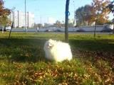 Собаки, щенята Малий шпіц, ціна 2000 Грн., Фото