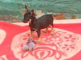 Собаки, щенята Російський гладкошерстий тойтерьер, ціна 2500 Грн., Фото