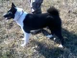 Собаки, щенки Русско-Европейская лайка, цена 250 Грн., Фото