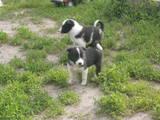 Собаки, щенята Російсько-Європейська лайка, ціна 600 Грн., Фото