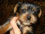 Собаки, щенята Йоркширський тер'єр, ціна 2200 Грн., Фото