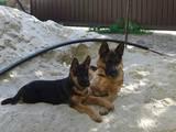 Собаки, щенки Немецкая овчарка, цена 3700 Грн., Фото