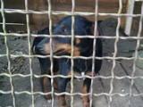 Собаки, щенята Ягдтер'єр, ціна 123 Грн., Фото