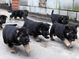 Собаки, щенки Восточно-Европейская овчарка, цена 3800 Грн., Фото