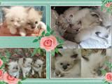 Кішки, кошенята Бірманська, ціна 1000 Грн., Фото