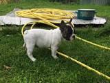 Собаки, щенки Французский бульдог, цена 6000 Грн., Фото