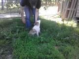 Собаки, щенки Западно-Сибирская лайка, цена 400 Грн., Фото