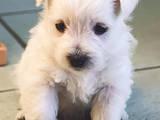 Собаки, щенята Вестхайленд уайт тер'єр, ціна 9000 Грн., Фото