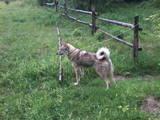 Собаки, щенята Західно-Сибірська лайка, ціна 4800 Грн., Фото