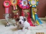 Собаки, щенки Джек Рассел терьер, цена 7000 Грн., Фото