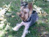 Собаки, щенки Йоркширский терьер, цена 3200 Грн., Фото