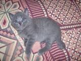 Кошки, котята Британская короткошерстная, цена 400 Грн., Фото