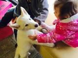 Собаки, щенята Сибірський хаськи, ціна 500 Грн., Фото