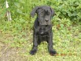 Собаки, щенята Кане Корсо, ціна 7000 Грн., Фото