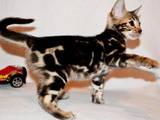 Кішки, кошенята Бенгальськая, ціна 1500 Грн., Фото