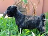 Собаки, щенки Мопс, цена 500 Грн., Фото