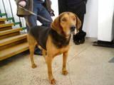 Собаки, щенки Эстонская гончая, цена 20 Грн., Фото