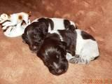 Собаки, щенки Немецкая жесткошерстная легавая, цена 7500 Грн., Фото
