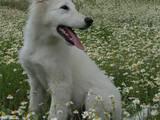 Собаки, щенки Белая Швейцарская овчарка, цена 5500 Грн., Фото