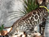 Кішки, кошенята Бенгальськая, ціна 500 Грн., Фото