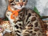 Кошки, котята Бенгальская, цена 500 Грн., Фото