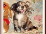 Собаки, щенки Чихуа-хуа, цена 500 Грн., Фото