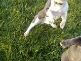 Собаки, щенята Французький бульдог, ціна 500 Грн., Фото