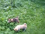 Собаки, щенки Западно-Сибирская лайка, цена 399 Грн., Фото