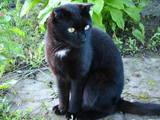 Кошки, котята Шотландская вислоухая, цена 7 Грн., Фото